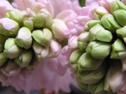 hyacinthbuds
