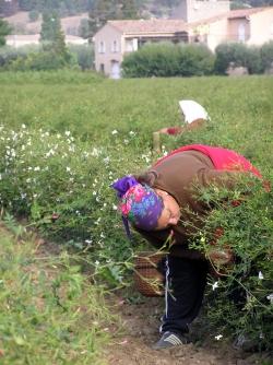 jasmineharvesting