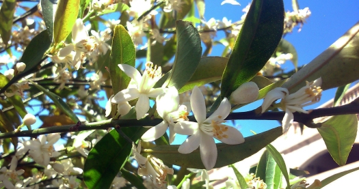 orange blossoms7
